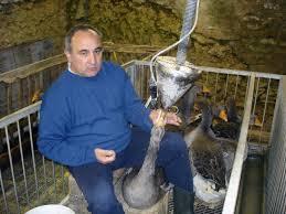Gavagem de gansos para a produção de foie gras