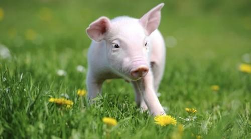 mini-porco